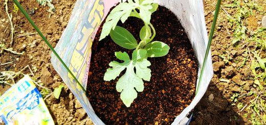 家庭菜園:手軽な袋栽培で再スタート