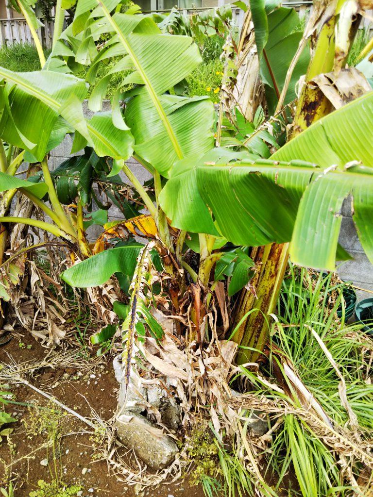 バナナはタフで放ったらかし栽培でも元気♪