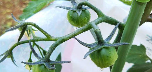 千果(ミニトマト)の栽培記録