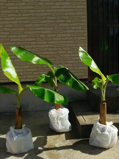 バナナの苗を入手