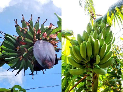 バナナの栽培記録:2016~2018シーズン