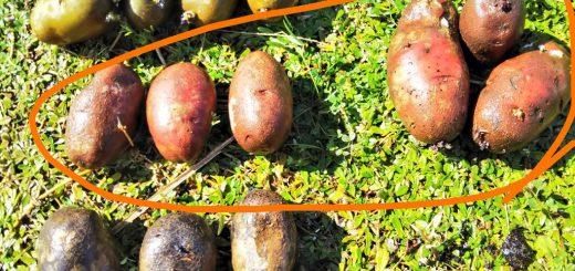 ノーザンルビー(ジャガイモ)の袋栽培記録:2018シーズン