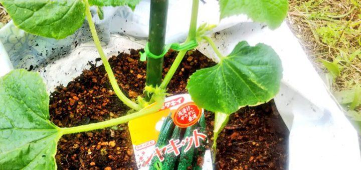 【ザワワ村】開拓物語 第17話「夏野菜の袋栽培スタート」