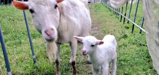 【ザワワ村】開拓物語 第24話「ヤギが生まれた日」