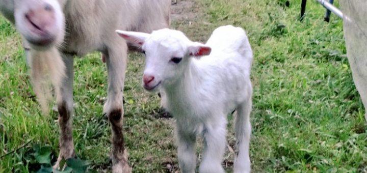 【ザワワ村】ヤギ飼育の記録:2019シーズン