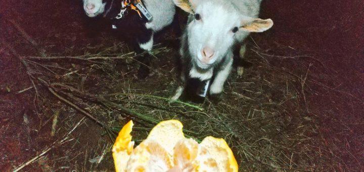 【ザワワ村】開拓物語 第52話「ヤギと仲良く🍊をワケワケ&暖冬が継続でバナナ順調」