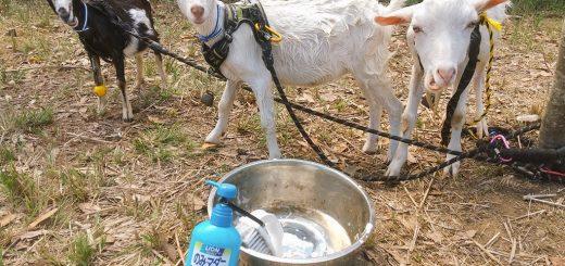 【ザワワ村】開拓物語 第66話「StayHomeの夏休みもヤギがいれば楽しい」