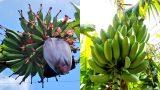 バナナ露地栽培の記録🍌:2016~2018シーズン(初収穫まで)