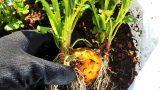 インカのめざめ(ジャガイモ)の袋栽培記録:2018シーズン
