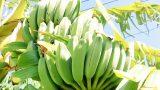 バナナ露地栽培の記録:2019シーズン(収穫2年目)